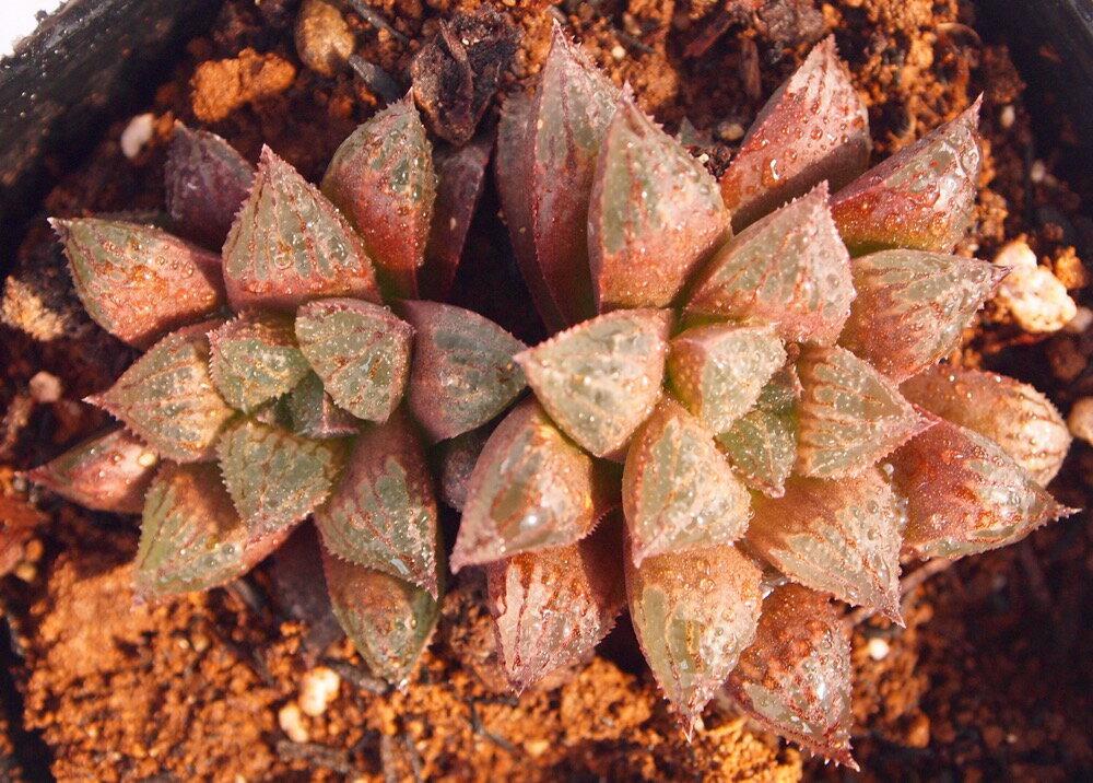 シュガープラム【ジュエルプランツ】ハオルチア属 多肉植物 9cmポット(1~3頭)