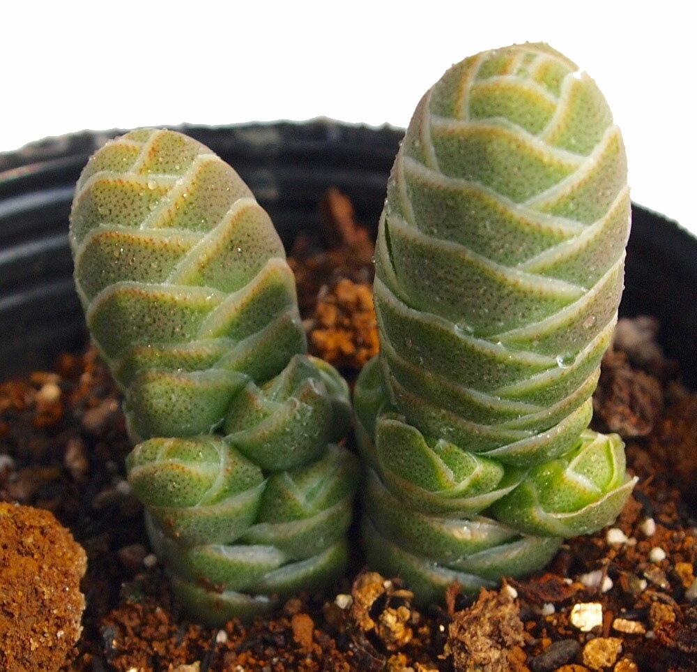 玉椿(タマツバキ) クラッスラ属 多肉植物 9cmポット(1~3頭)