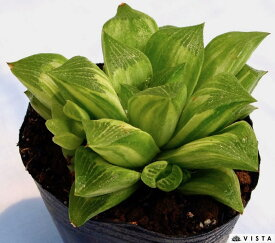 レツーサ錦(レツーサニシキ) ハオルチア属 多肉植物 9cmポット
