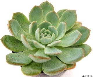 Echeveria'Maria'