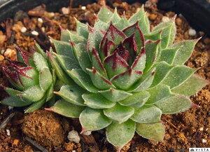 麗人花(レイジンカ) センペルビウム属 多肉植物 9cmポット観葉植物 雑貨 おすすめ インテリア 暮らし地植え 鉢植え 子株 寒さ 紅葉