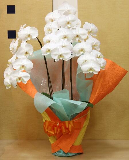 【送料無料】胡蝶蘭3本立ち花屋