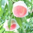 和歌山田中農園の桃 訳あり2kg 6玉〜8玉【わけあり 訳あり】朝採り直送!こだわりの美味しい桃 品種選べます ご自宅用…