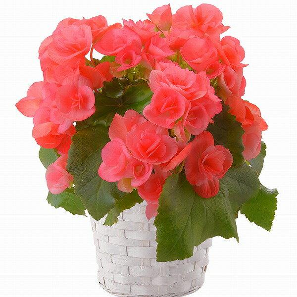 ベゴニア ピンク リーガス 4.5号 フラワーギフト お花 鉢植え 鉢花【送料無料】 / お取り寄せ 通販 お土産 お祝い /