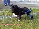 【1カ月レンタル】犬の車椅子 K9カート スタンダード 後脚サポート S(5.1〜11kg)用 パグ ポメラニアン【介護用品】 老犬 高齢犬 小型…