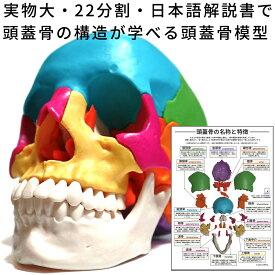 実物大・22分割・日本語の解説書で頭蓋骨の構造が学べる頭蓋骨模型 【解剖学 / オステオパシー / 頭蓋治療 / 分解 / 組立 / 脱着 / 蝶形骨 / 骨格標本 / 人体模型 / 1/1スケール /1:1 等身大 / 頭蓋骨モデル】