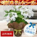 訳アリ 玉紫陽花 限定25鉢 花 鉢植え ギフト 珍しい品種 瓔珞玉紫陽花 蕾付 ヨウラクタマアジサイ 5号 花茎3本以上 あ…