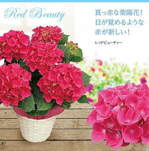 【鉢花】母の日の西洋アジサイ5号鉢【送料無料同梱不可母の日ギフト】