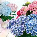 早割 母の日 ギフト 花 送料無料 母の日のアジサイ 選べる 5号鉢 【母の日プレゼント あじさい 鉢植え お母さん 鉢花 …