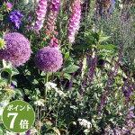 芽出し球根アリウムパープルセンセイション1鉢3号ロング1球植えAlliumPurpleSencation【球根植え球根セット鉢植え庭植え寄せ植えガーデニング】