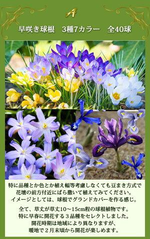 春の息吹!早春咲き、小球根ミックスセット30球【今すぐお届け】