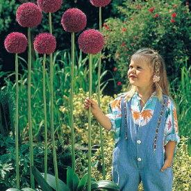 【大型球根】アリウム 球根 ギガンチューム1球 大型 【お届け中】Allium giganteumOrnamental Onion 秋植え球根 ガーデニング 花壇 多年草 アリウムギガンチウム