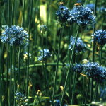 アリウムコエルレウム5球【小球根】Alliumcaeruleum【OrnamentalOnion】【メール便対応】