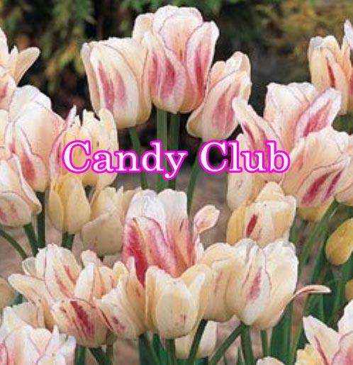 枝咲き チューリップ 球根 キャンディー クラブ 10球 セット Tulip お届け中〜 ガーデニング 寄せ植え 庭植え 花壇 桃花