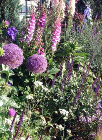 【中型球根】アリウム パープルセンセイション 球根1球【お届け中】Allium Purple Sencation 秋植え 球根 鉢植え 庭植え 寄せ植え ガーデニング【コンパクト便でお届け】