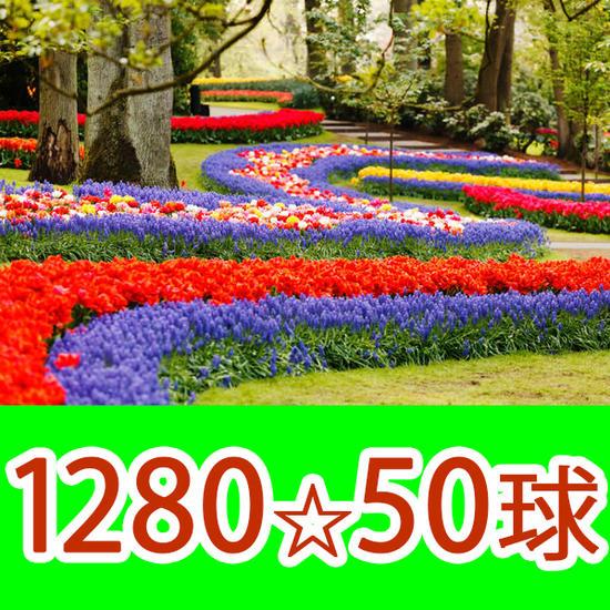 秋植え球根 ムスカリ アルメニアカム 50球 お届け中 Muscari Armeniacum 青いムスカリ 春開花 鉢植え 庭植え 寄せ植え ムスカリ 球根