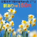 訳アリ球根 芽が出ちゃった 水仙 日本水仙 球根 1球 Narcissus tazetta var. chinensis 【お届け開始】 スイセン すい…