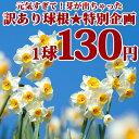 【訳アリ球根】芽が出ちゃった 水仙 日本水仙 球根 1球 Narcissus tazetta var. chinensis【お届け中】 スイセン すい…