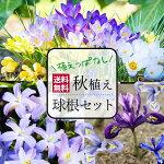 春の息吹!早春咲き、小球根ミックスセット30球【今すぐお届け】1000円ポッキリ!(消費税込)