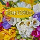 球根 フリージア ミックス 球根 50球セット【お届け中】 芳香性 植えっぱなし球根 赤花 紫花 桃花 白花 メール便 対応