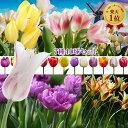 【球根】いろいろなチューリップが楽しめる バラエティ チューリップ 球根 セット 7種 合計40球 ミックス【お届け9月下旬〜秋植先行予約 】珍しい 八重咲き 枝咲き ユリ咲き フリンジ咲き 一重咲き