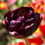 八重咲きチューリップ球根ブラックヒーロー3球【秋植え球根★お届け中】Tulipblackhero秋植え球根鉢植え庭植え寄せ植えガーデニング