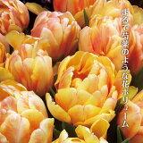 しゃくやく咲きチューリップフォクシーフォックストロット3球TulipFoxyFoxtrot