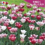 チューリップマンゴチャーム5球【お届け9月下旬〜秋植え球根】TulipHemisphere