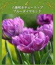 八重咲き チューリップ ブルーダイアモンド 5球 【お届け中 コンパクト便でお届け】Tulip Bule Diamond 球根 チュー…