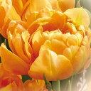 秋植え球根 八重咲きチューリップ球根 オルカ 5球【お届中〜コンパクト便中型球根】チューリップ 球根 花の球根 秋植え球根 Tulip ガーデニング 寄せ植え 庭植え 花壇 秋植え 黄花