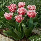 チューリップクリンズランド3球【秋植え球根★お届け9月中旬〜】TulipIcecream【秋植え球根鉢植え庭植え寄せ植えガーデニング】
