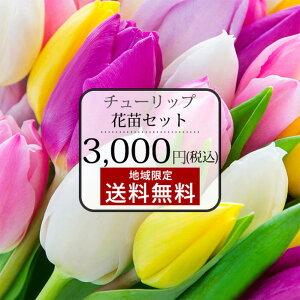 花苗 芽出しチューリップ おまかせ 1ダース 12ポットセット【お届け中】Tulip ポット植え球根 芽出し球根 球根 春植え チューリップ 苗 地域限定送料無料