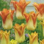 【中型球根】チューリップムーンブラッシュ3球入り【お届け中】TulipMoonBrush【コンパクト便でお届け】秋植え球根ガーデニング庭植え花壇寄せ植え【キャッシュレス還元対象】
