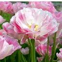 球根 八重咲き晩生 チューリップ フィノラ 5セット【即納】Tulip 鉢植え 庭植え 寄せ植え 花壇 桃花