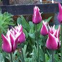 チューリップ球根 ユリ咲き チューリップ クラウディア5球セット【お届け中】Tulip Claudiaユリ咲き チューリップ 球…