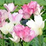 枝咲きチューリップキャンディークラブ10球Tulip【秋植え球根】