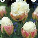 チューリップ アイスクリーム 2球 セット【お届け中】Tulip Ice cream 秋植え 球根 花球根 鉢植え 庭植え 寄せ植え 花壇 コンパクト便でお届け 中型球根