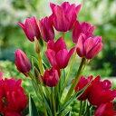 球根 枝咲きチューリップ ハッピーファミリー5球 球根セット【お届け開始 コンパクト便でお届け】Tulip 1球から3輪〜5輪花が咲く 花の球根