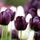 チューリップ クイーンオブナイト 5球 球根 セット【お届け中 コンパクト便でお届け 中型球根】Tulip Queen Of Night …