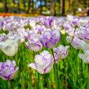 【中型球根】チューリップ シャーリー 球根 10球 セット【9月下旬〜秋植先行予約】Tulip【コンパクト便でお届け】【キャッシュレス還元対象】