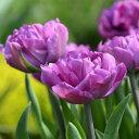 チューリップ 球根 ショーケース 八重咲き 10球 セット【お届け中】Tulip showcase 秋植え 球根 鉢植え 庭植え 寄せ植…