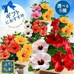 【鉢花】ハイビスカスロングライフ選べる7種5号鉢【母の日ギフト送料無料