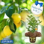 実付きレモンの木5号1鉢【送料無料】