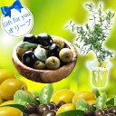 木 オリーブ 5号 1鉢 【お届け中】 Olive 硬質プラスチック鉢