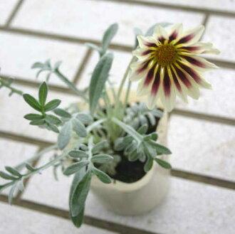 雜色菊黑醋栗奶油一碗 3.5 號雜色菊