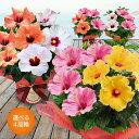 選べる6種類!早割 母の日限定 鉢植え 花 ギフト 送料無料 ハイビスカス ロングライフ 1鉢で2種楽しめる 5号【母の日 …