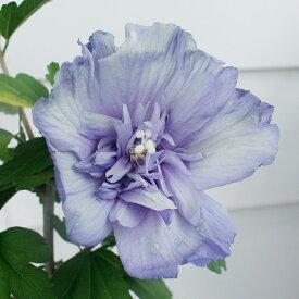 ムクゲ 青いシフォン 5号ポット 鉢植え Hibiscus syriacus bluechiffon 花木 庭木 夏苗 低木 青花 木槿 むくげ 花木 庭木 夏苗 低木 八重 アオイ科 フヨウ属