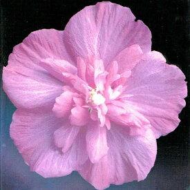 ムクゲ ラズベリー 5号ポット 鉢植え Hibiscus syriacus raspberry 花木 庭木 夏苗 低木 青花 木槿 むくげ 八重 アオイ科 フヨウ属 桃花