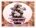 ★楽天1位★母の日の記念樹 春のスプリングポールオオデマリ・カムズピンク 1鉢 春のスプリングポール【花付きでお届け】Viburnum plicatum Kar...