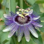 トケイソウブラウミルック苗3号1鉢Passiflora'LilacLady'【グリーンカーテンクライミングつる性とけいそう時計草緑のカーテンよしず節電】